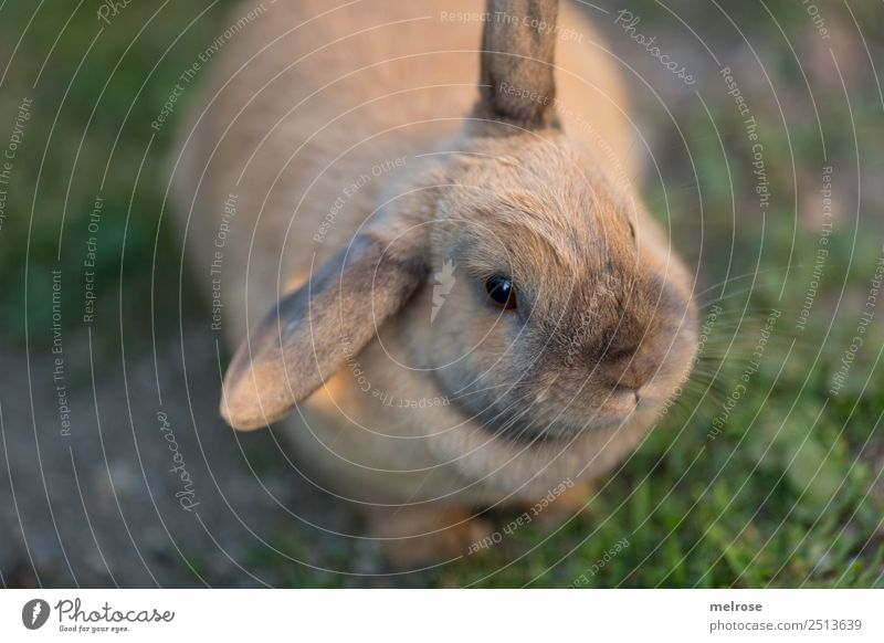 Hase mit Knickohr Sommer Schönes Wetter Gras Garten Haustier Tiergesicht Fell Pfote Hase & Kaninchen Zwergkaninchen Säugetier Nagetiere Hasenohren Schnauze 1