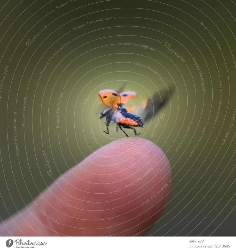 Geschwindigkeit | Flügelschlag Finger Natur Tier Käfer Insekt Siebenpunkt-Marienkäfer 1 Beginn Bewegung Entschlossenheit Leichtigkeit Ziel fliegen Flugzeugstart