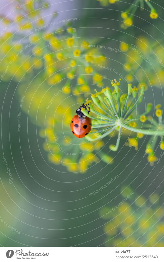 Dillblüten Natur Pflanze Tier Umwelt Blüte Garten Insekt Käfer krabbeln Marienkäfer Nutzpflanze Wildpflanze Doldenblüte Siebenpunkt-Marienkäfer