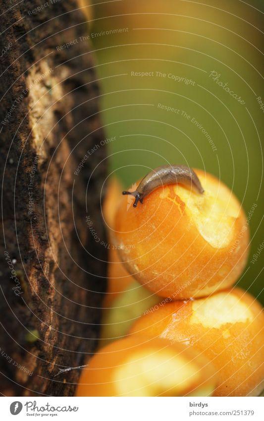 Feinschmecker Ernährung Schnecke 1 Tier Fressen authentisch niedlich schleimig braun gelb grün gefräßig Natur Pilz rund krabbeln Holz klein hell Pilzmahlzeit