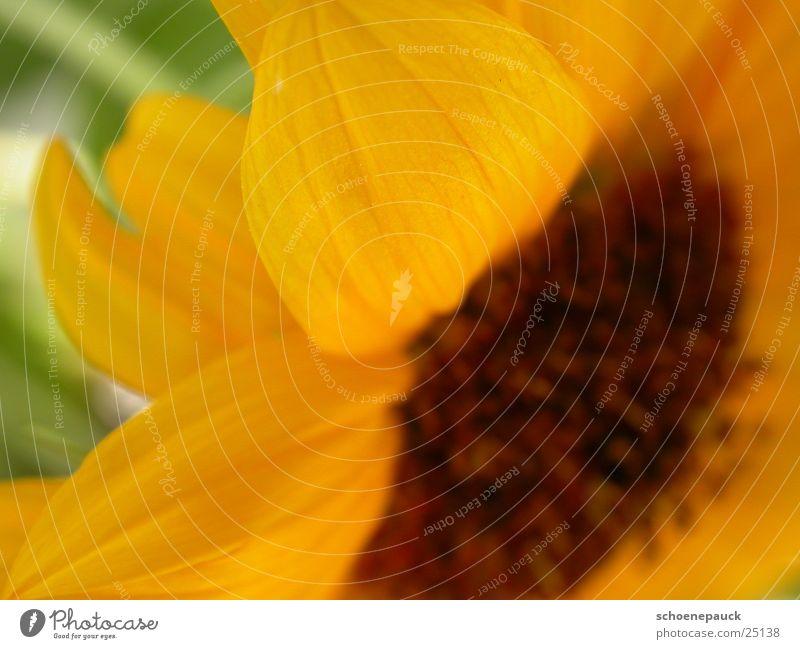 Sonnenblume (Extremer Closeup) Blume Pflanze Blatt gelb Blüte Samen