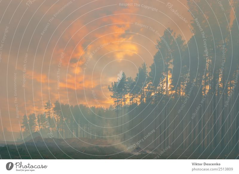 Im Pinienwald brennen Bäume. Sommer Strand Haus Mensch Umwelt Natur Pflanze Klima Baum Gras Blatt Wald Straße heiß schwarz Tod Desaster Zerstörung Hintergrund