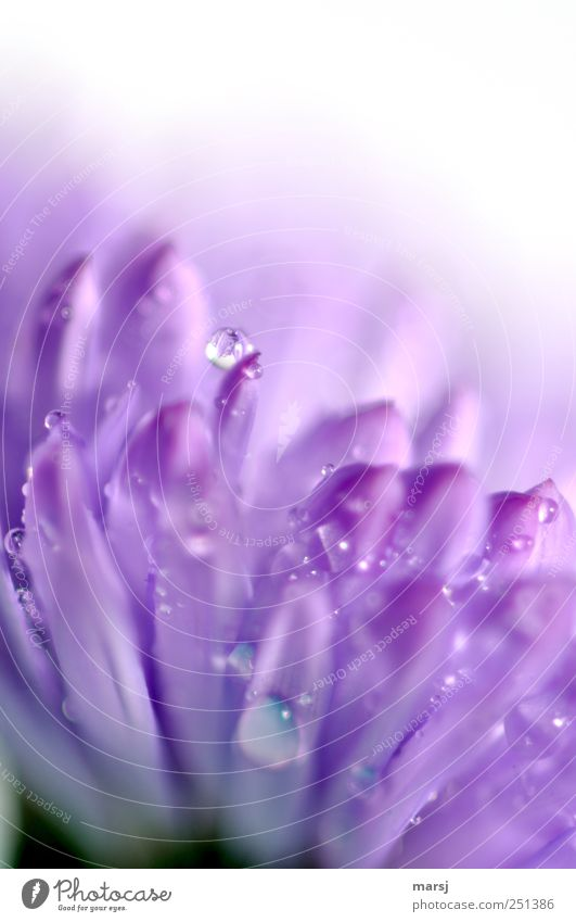 Frisch geduscht!?! Natur Pflanze Sommer Blume Farbe Blüte nass glänzend Wassertropfen Tropfen violett Blühend Duft Grünpflanze Frühlingsgefühle Wildpflanze