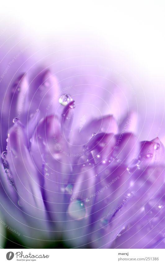 Frisch geduscht!?! Pflanze Wassertropfen Sommer Blume Blüte Grünpflanze Wildpflanze Astern Glattblatt-Astern Tropfen Blühend Duft glänzend nass violett