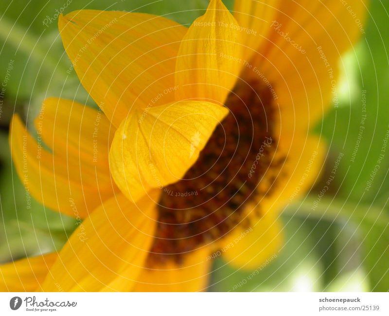 Sonnenblume (Closeup) Blüte Pflanze Blatt gelb Nahaufnahme