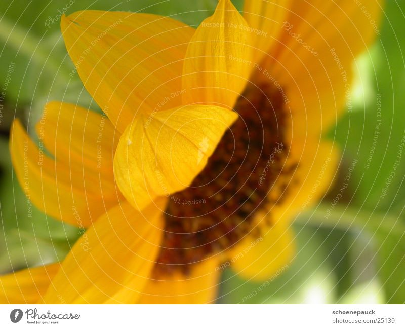 Sonnenblume (Closeup) Pflanze Blatt gelb Blüte