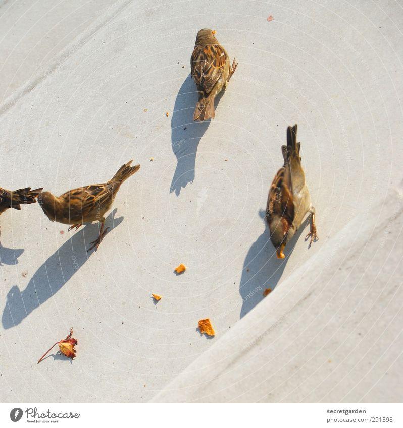 vogelperspektive. Ernährung Treppe Tier Vogel Spatz 3 Tiergruppe Beton Fressen frech Neugier niedlich unten braun grau Teamwork Überleben Schatten Rest Krümel