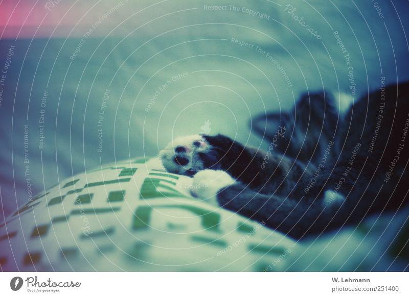 Paw Tier Katze Bett Müdigkeit Haustier
