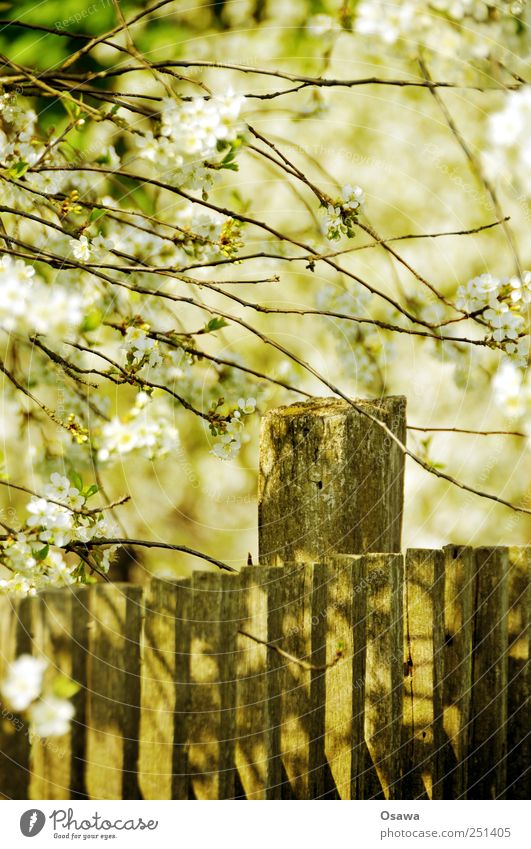 Kossenblatt 4 weiß Baum Holz Frühling Ast Zaun Zweig