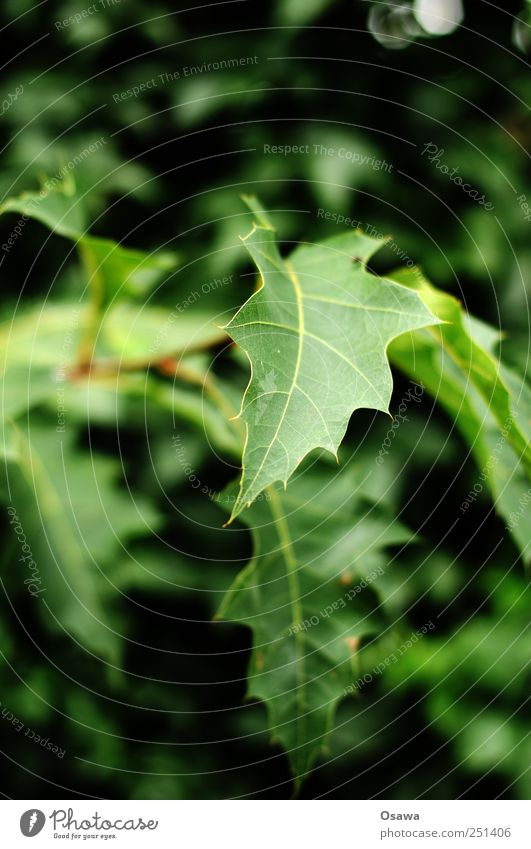 Blatt Laub grün Strauch Baum Zweig geringe Tiefenschärfe Detail Nahaufnahme menschenleer Hochformat Textfreiraum