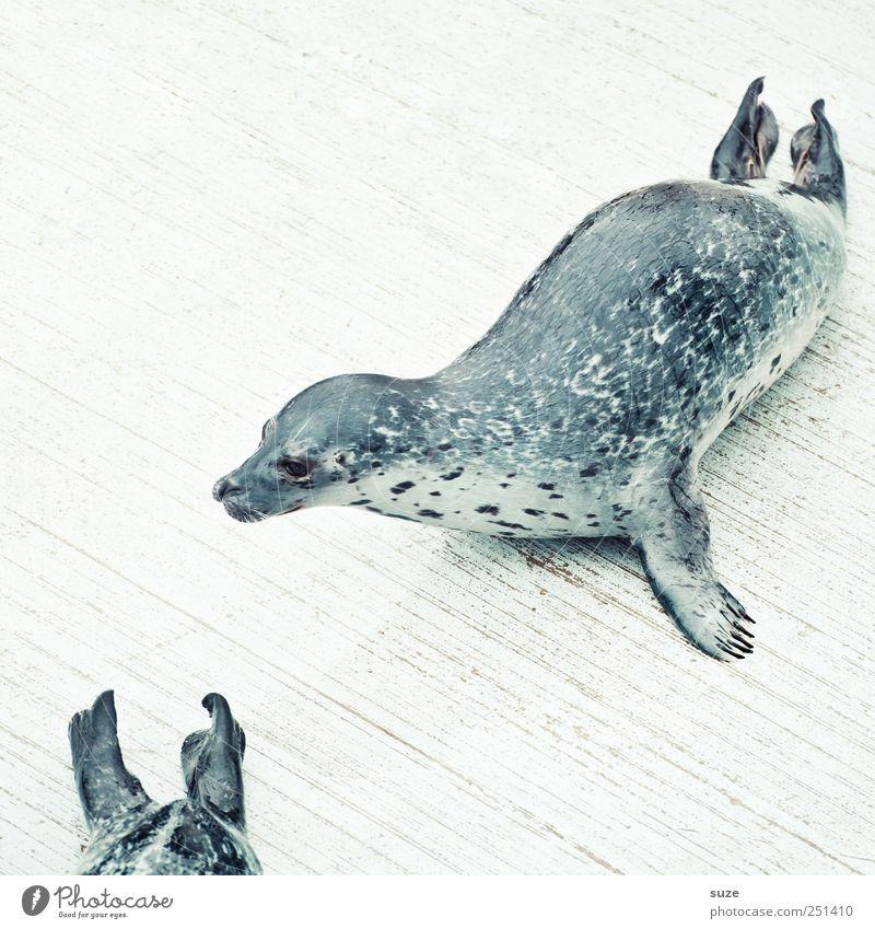 Hinterherrobben weiß Tier Kopf lustig hell Wildtier wild liegen niedlich Neugier Tiergesicht Steg Holzfußboden Robben Seehund Flosse