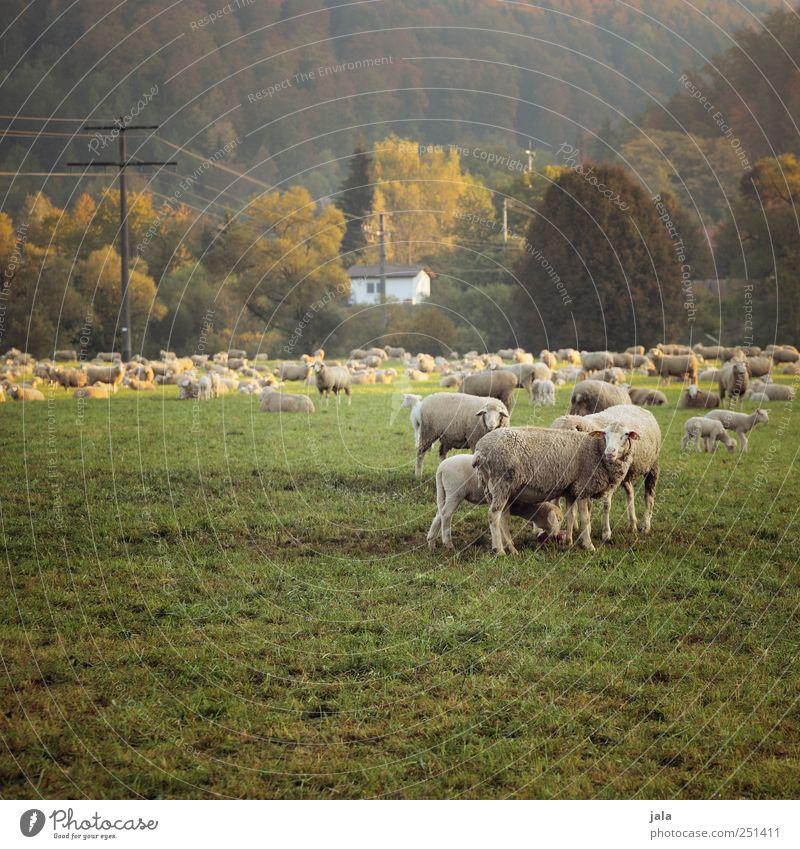 CHAMANSÜLZ | schäfchen auf der weide Umwelt Natur Landschaft Pflanze Tier Wiese Haus Nutztier Schaf Tiergruppe Herde Tierfamilie natürlich gelb grün Strommast