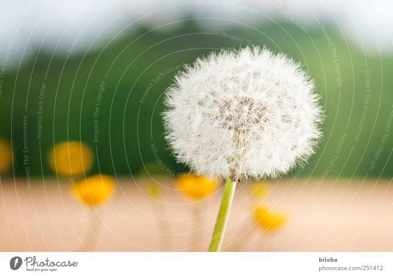 Vergangene Zeit Pflanze Sommer Löwenzahn gelb grün weiß Samen Außenaufnahme Nahaufnahme Menschenleer Textfreiraum links Schwache Tiefenschärfe Makroaufnahme