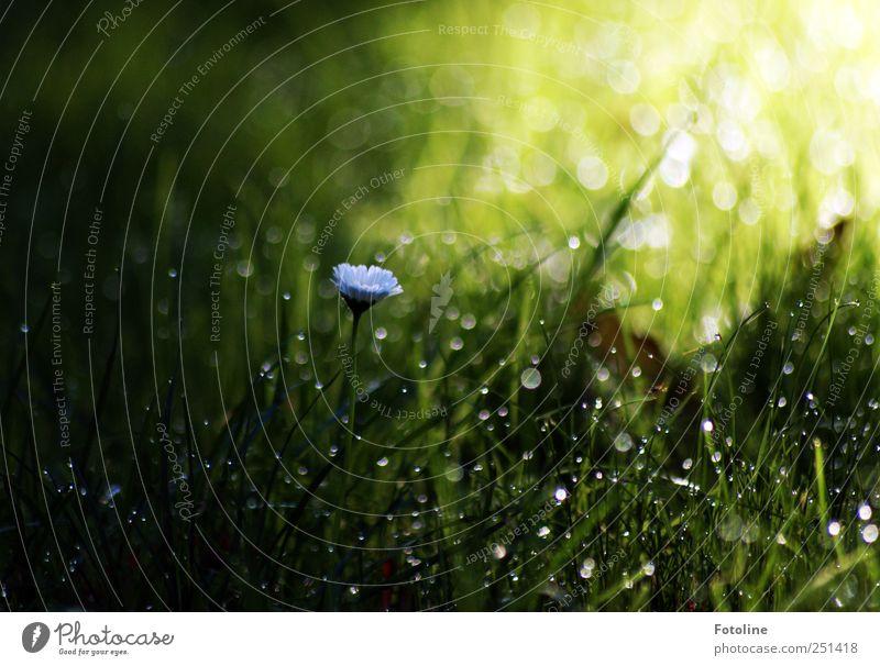 Morgens Umwelt Natur Pflanze Blume Gras Garten Wiese dunkel hell nass natürlich grün weiß Gänseblümchen Tau Farbfoto mehrfarbig Menschenleer Textfreiraum oben