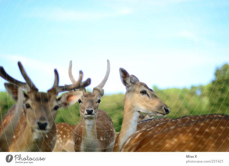 Grazien Tier Wildtier 4 Herde Neugier Reh Hirsche Horn Paarhufer Farbfoto mehrfarbig Außenaufnahme Menschenleer Schwache Tiefenschärfe Tierporträt