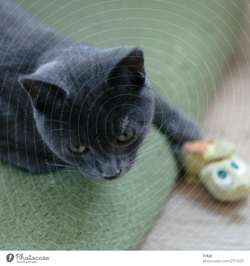 Unschuldslamm Haustier Katze Tiergesicht Hauskatze 1 Spielzeug Stofftiere Wolldecke festhalten liegen machen Blick Spielen gelb grau grün Gefühle Stimmung