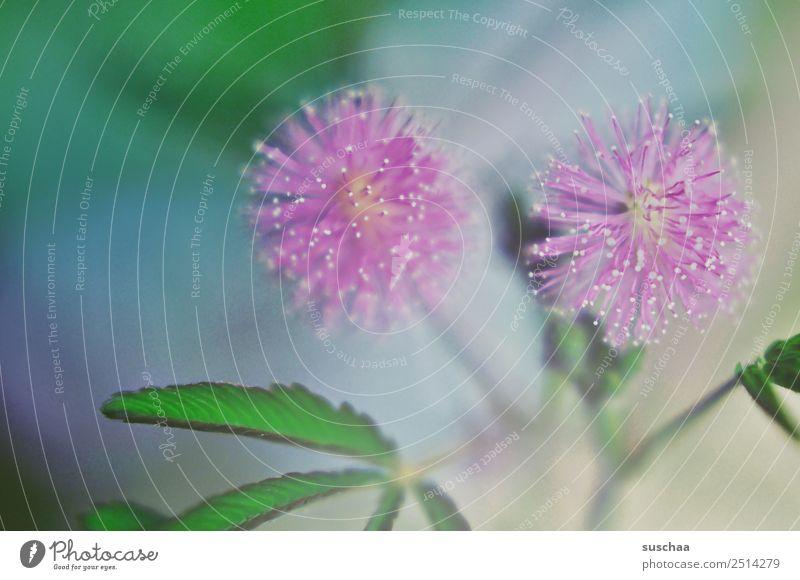 mimosenblüte Mimose Pflanze Zimmerpflanze Mimosa pudica Mimosengewächse Mimosenblüte Blüte Schamhafte Sinnpflanze tropische Pflanzenart empfindsam sensibel