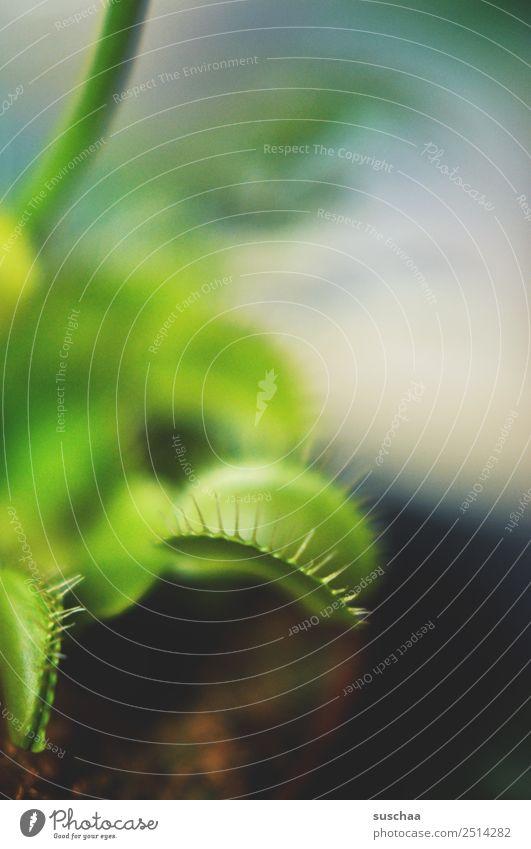 fliegenfalle IV Pflanze Zimmerpflanze Venusfliegenfalle fleischfressende Pflanze kein Vegetarier Fleischfresser Fliegenfresser Fliegenfalle grün