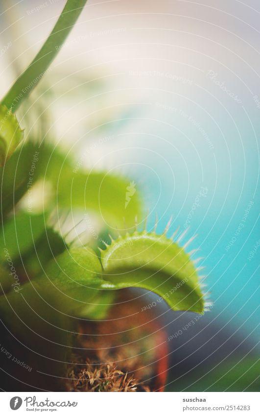 fliegenfalle III Pflanze Zimmerpflanze Venusfliegenfalle fleischfressende Pflanze kein Vegetarier Fleischfresser Fliegenfresser Fliegenfalle grün
