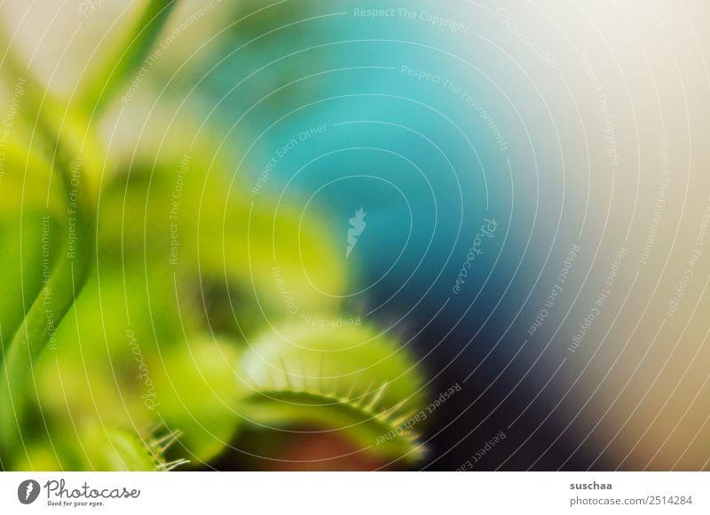 fliegenfalle II Pflanze Zimmerpflanze Venusfliegenfalle fleischfressende Pflanze kein Vegetarier Fleischfresser Fliegenfresser Fliegenfalle grün
