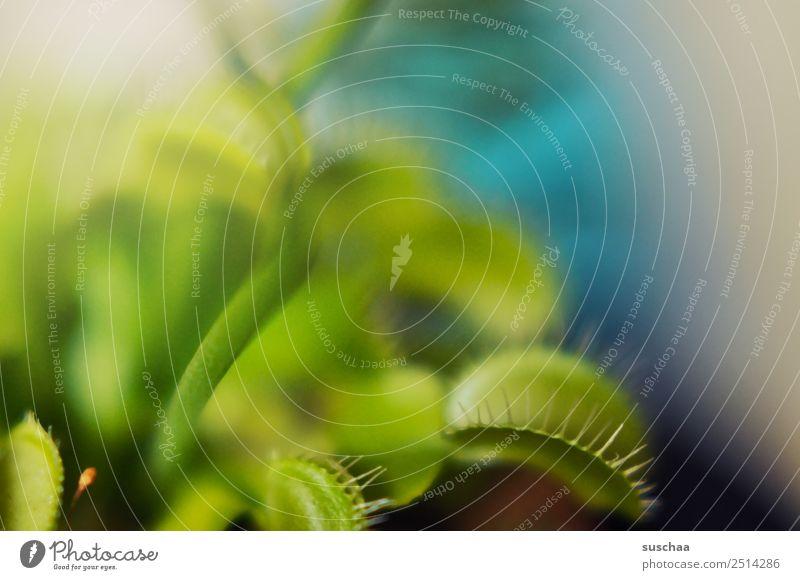 fliegenfalle Pflanze Zimmerpflanze Venusfliegenfalle fleischfressende Pflanze kein Vegetarier Fleischfresser Fliegenfresser Schädlingsbekämpfung Natur Maul