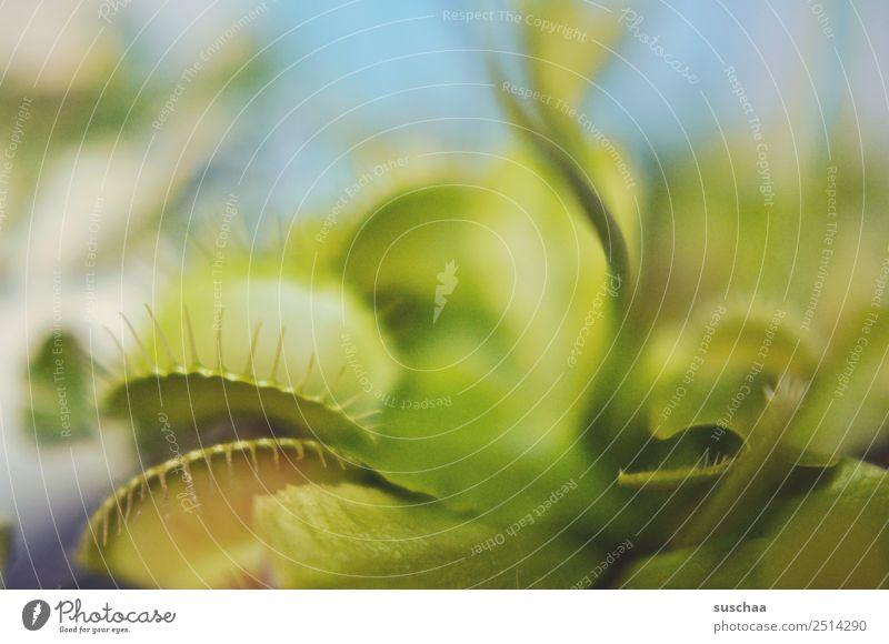 Fliegenfresser (3) Pflanze Zimmerpflanze Venusfliegenfalle fleischfressende Pflanze kein Vegetarier Fleischfresser Schädlingsbekämpfung Natur Maul Fressen