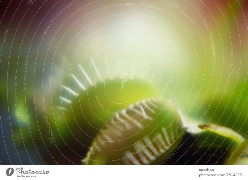 kein vegetarier (1) Pflanze Zimmerpflanze Venusfliegenfalle fleischfressende pflanze Fleischfresser Schädlingsbekämpfung Natur Maul Fressen gefährlich seltsam