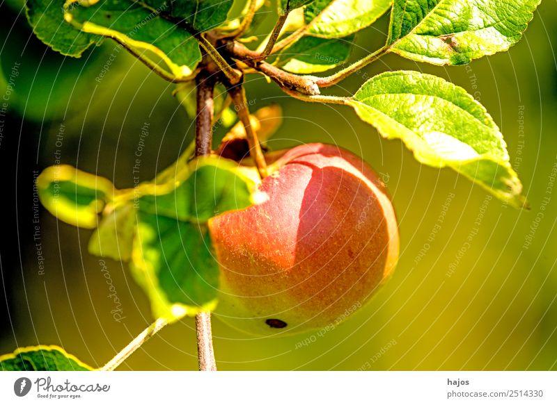 Apfel, reif am Baum Frucht Sommer Natur Gesundheit rot Apfelbaum Nahaufnahme Garten Obstanbau Landwirtschaft Essen Snack Ernährung Ballaststoff Farbfoto