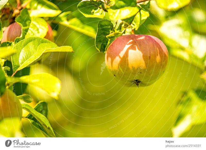 Apfel, reif am Baum Sommer Natur Gesundheit rot grün Apfelbaum Obst gesund Vitamin C Garten Essen Gesunde Ernährung Farbfoto Außenaufnahme Nahaufnahme