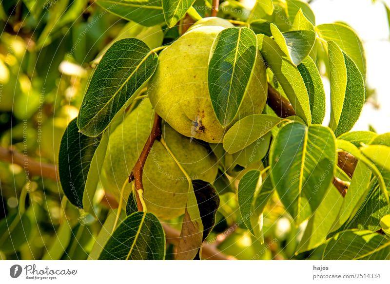 reife Birne am Baum Sommer Gesundheit Birnbaum gelb Obstbaum gesund Ernährung Aussaat Landwirtschaft Vitamin C Farbfoto Außenaufnahme Nahaufnahme Detailaufnahme