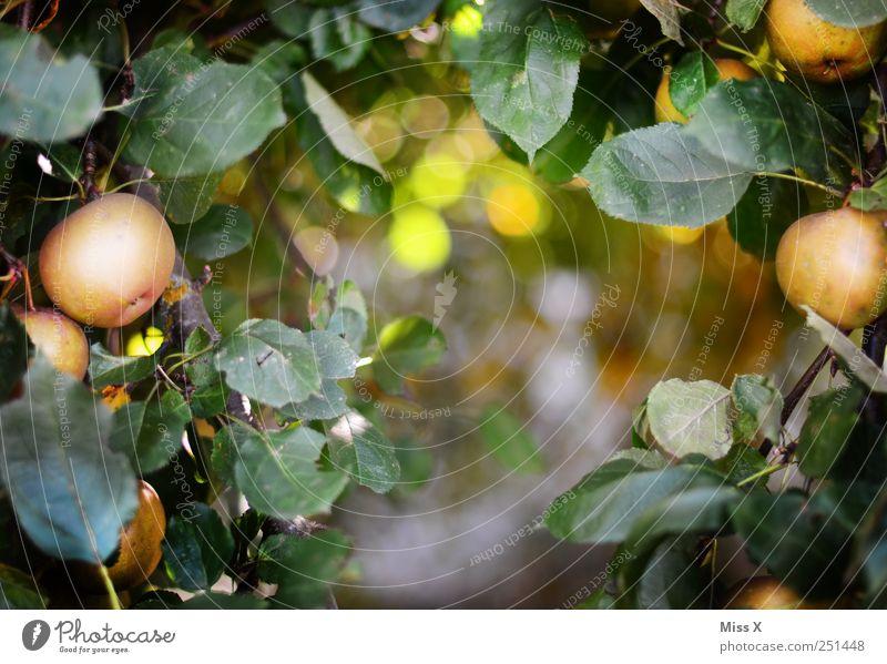 Apfelrahmen Lebensmittel Ernährung Bioprodukte Umwelt Baum Blatt Garten lecker rund saftig sauer süß Rahmen Apfelbaum Zweige u. Äste Ast Farbfoto mehrfarbig