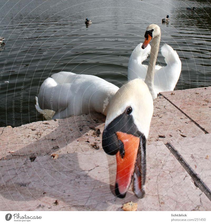Schau mir in die Augen... Tier Schwan Tiergesicht 2 füttern nah weiß Bewegung Farbfoto Außenaufnahme Licht Tierporträt Vorderansicht Blick in die Kamera Seeufer