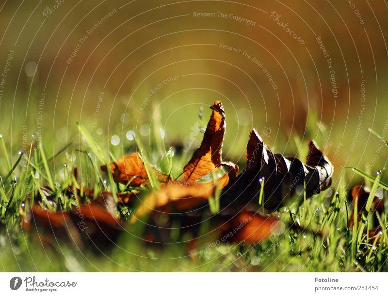 Der Herbst ist da! Umwelt Natur Pflanze Gras Blatt Wiese hell natürlich braun grün vertrocknet Farbfoto mehrfarbig Außenaufnahme Nahaufnahme Textfreiraum oben