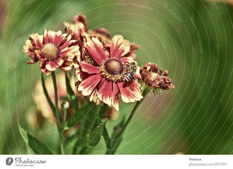 Gaillardia aristata - Kokardenblumen Natur Pflanze rot Blume gelb Blüte Biene Blühend Strelizie