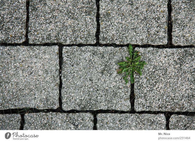 * Natur grün Pflanze Straße Leben grau Wege & Pfade Mauer Stein Beton Wachstum Blühend Kopfsteinpflaster Fuge kämpfen Pflastersteine