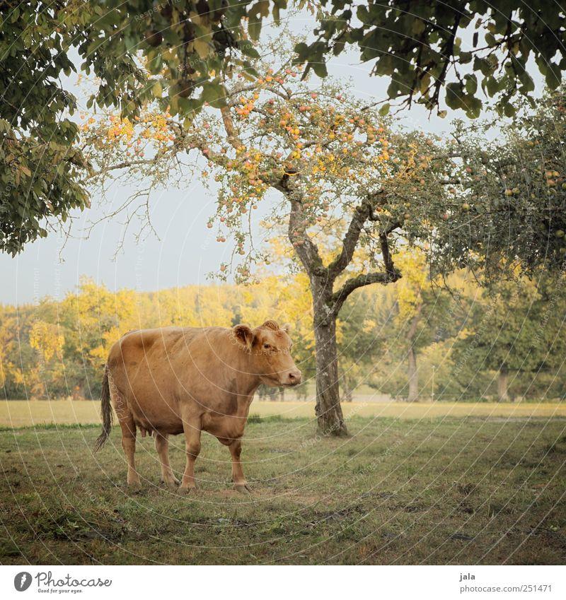 CHAMANSÜLZ | landleben Landwirtschaft Forstwirtschaft Umwelt Natur Landschaft Himmel Herbst Pflanze Baum Sträucher Wiese Tier Nutztier Kuh 1 natürlich blau gold