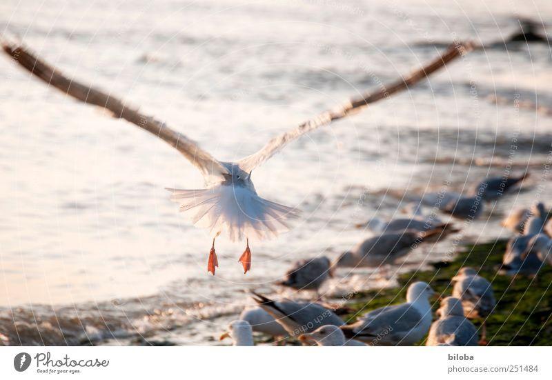 Auf und davon! Nordsee Tier Möwe Möwenvögel Flügel fliegen 1 gelb silber weiß Fernweh hinten Farbfoto Außenaufnahme Menschenleer Abend Bewegungsunschärfe
