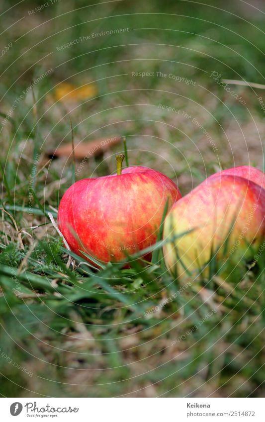 Ripe apples in domestic garden on the floor. Natur Pflanze Sommer Baum Nutzpflanze Garten Wiese Gesundheit Apfel Gartenarbeit pflücken Sammlung Frucht rot
