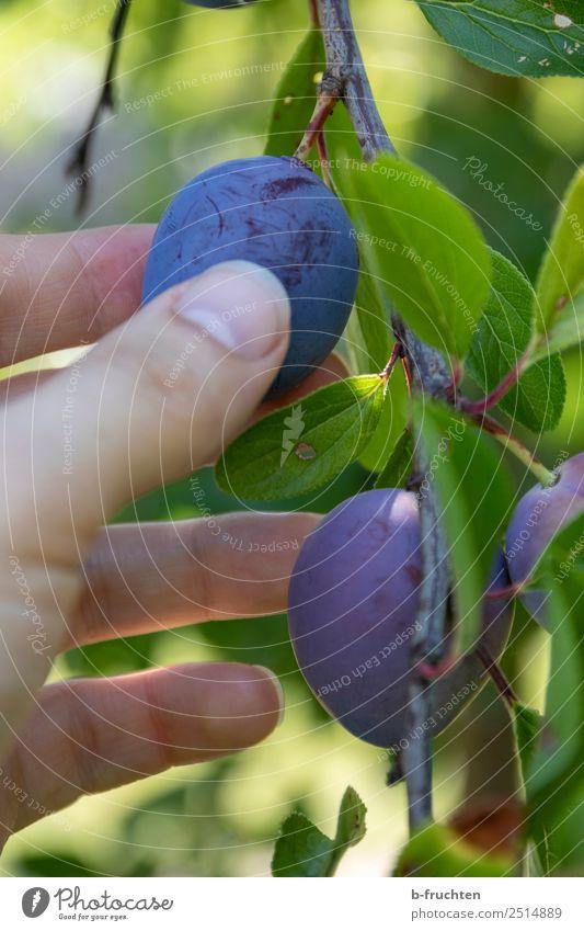 Zwetschgenernte Frucht Bioprodukte Vegetarische Ernährung Gesunde Ernährung Landwirtschaft Forstwirtschaft Mann Erwachsene Hand Finger Sommer Herbst Baum