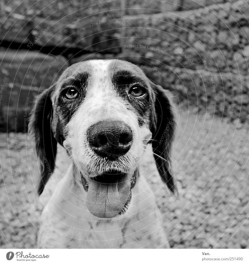 Doggie Zufriedenheit Natur Tier Haustier Hund Tiergesicht Fell 1 Zusammensein schwarz weiß Fröhlichkeit loyal Tierliebe Freundschaft atmen Zunge Nase