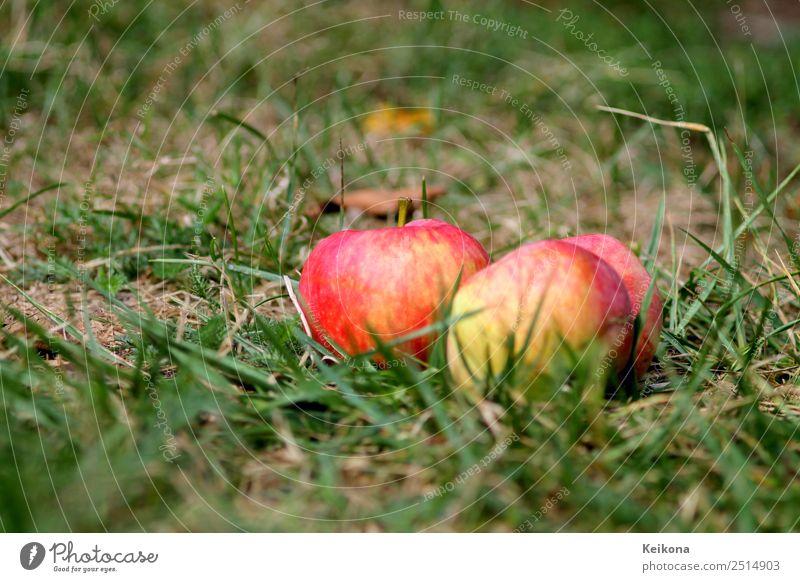 Ripe apples in domestic garden on the floor. Frucht Apfel Essen Frühstück Natur Pflanze Erde Baum Sträucher Garten Gesundheit Apfelbaum pflücken Sammlung Gras
