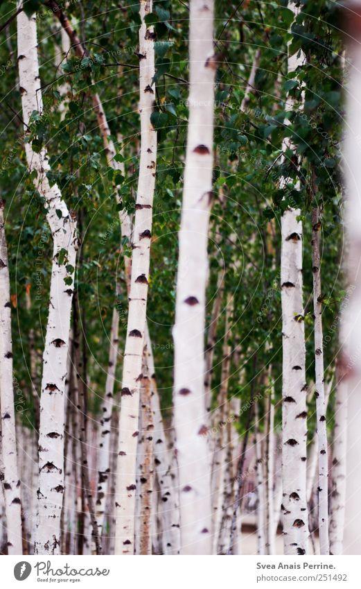 birke. Natur Baum Sommer Blatt Umwelt Park natürlich Schönes Wetter Birke Birkenwald Birkenblätter Birkenallee Birkenrinde