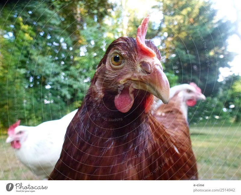 Eier legende glückliche Hühner im Grünen Fleisch Ernährung Umwelt Natur Schönes Wetter Gras Sträucher Tier Haustier Nutztier Flügel Streichelzoo Haushuhn 3