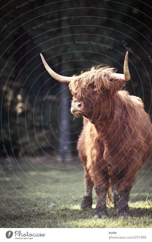 Hornochs' Natur Tier Wiese Umwelt authentisch bedrohlich Tiergesicht Fell Landwirtschaft Forstwirtschaft Biologische Landwirtschaft Nutztier Rind Bulle buschig