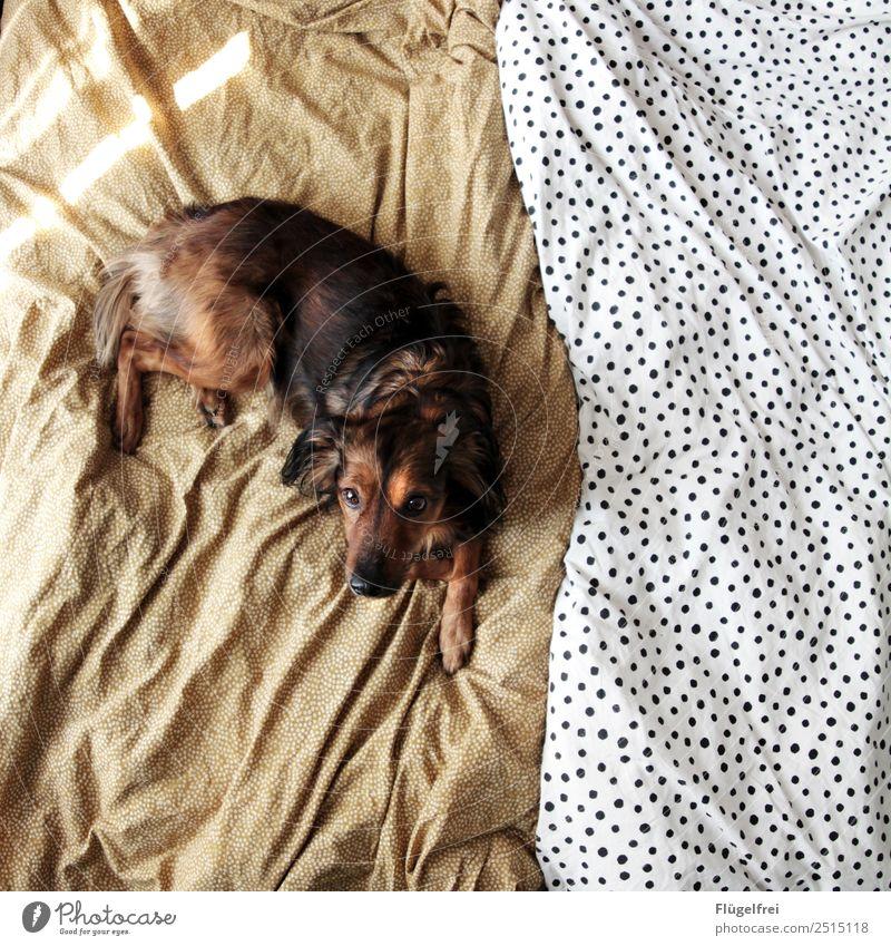 Na, Frühstück im Bett? Tier Hund 1 liegen Bettwäsche Mischling Erholung schlafen Schlafzimmer gemütlich Sonne Sonnenlicht Morgen Haustier Punkt Muster