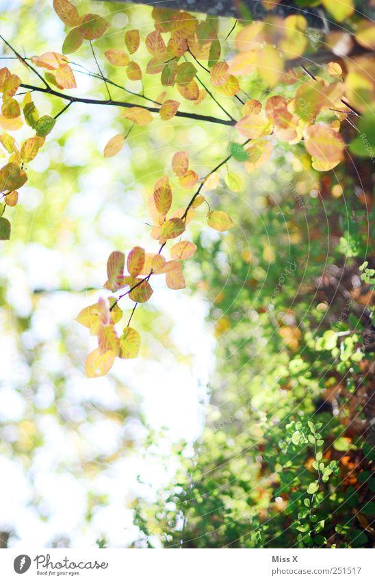 Herbstlich Natur Schönes Wetter Pflanze Baum Sträucher Blatt Wachstum hell herbstlich Ast Zweig Zweige u. Äste Farbfoto Außenaufnahme Nahaufnahme Menschenleer