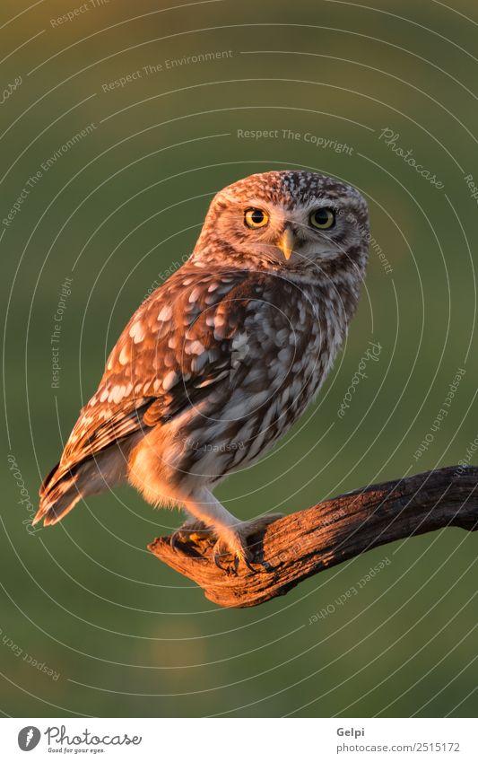 Süße Ou schön Natur Tier Wald Vogel Flügel klein lustig natürlich niedlich wild braun gelb gold grün schwarz weiß Tierwelt Waldohreule Beute Raubtier sonnig Ast