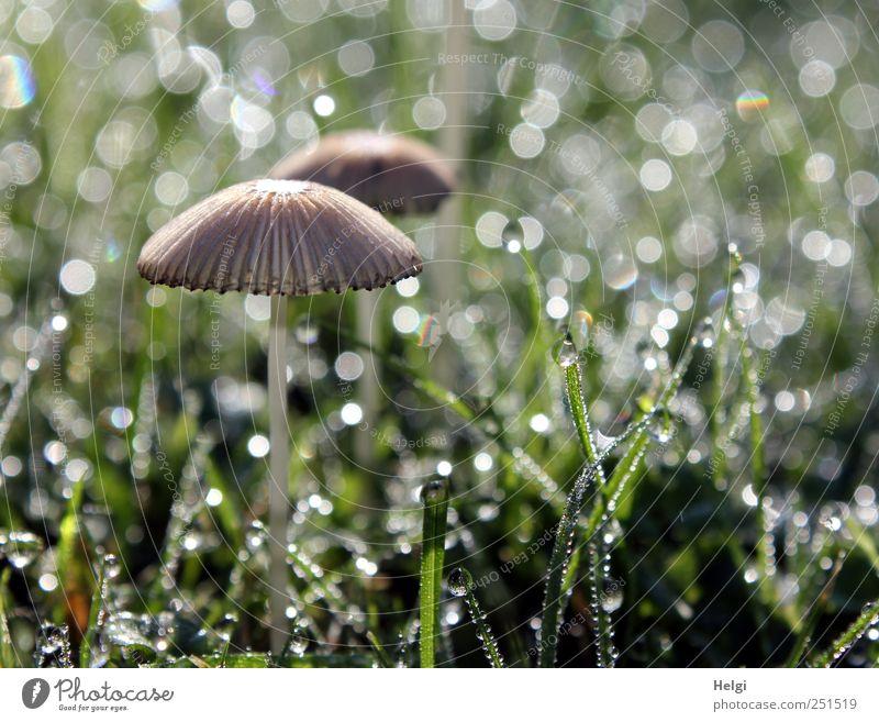 taufrisch... Umwelt Natur Pflanze Wassertropfen Gras Grünpflanze Pilz Garten Wiese glänzend stehen Wachstum ästhetisch außergewöhnlich einfach schön klein nass