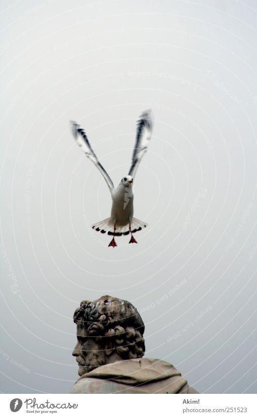 "Abflug...nächster Stop ""Mittelalter"" Sightseeing Kunst Skulptur Tier Vogel 1 fliegen Blick ästhetisch grau silber weiß Möwe Möwenvögel Silbermöwe Flügel"