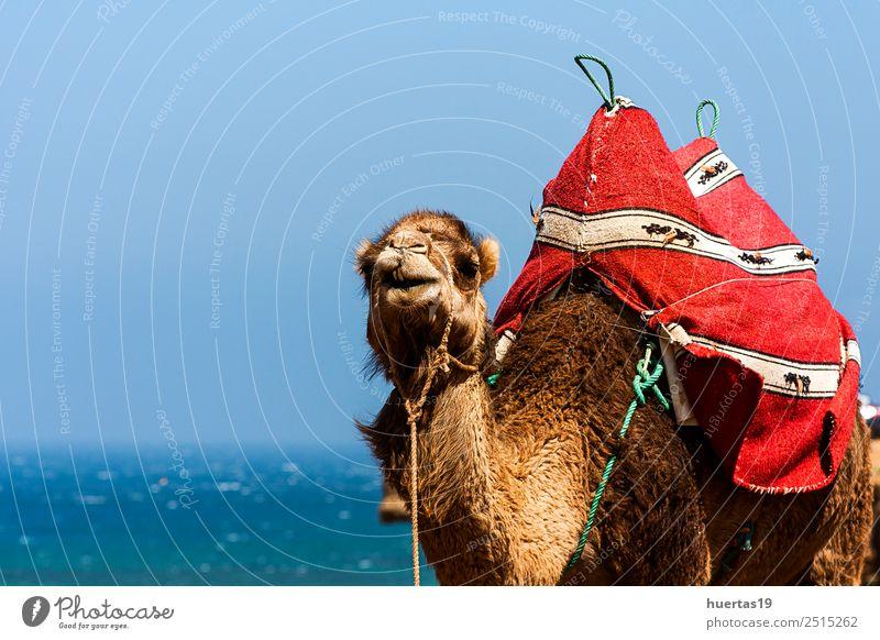 Kamel auf dem Meer Tier Wildtier Farbe Camel Dromedar Atlantik Tiere Wildtiere Marokko Tanger wüst Sahara Säugetier Afrika Tiere Afrikas horizontal Farbfoto
